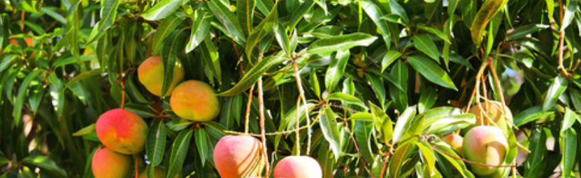 mango-fruit-plantation-india